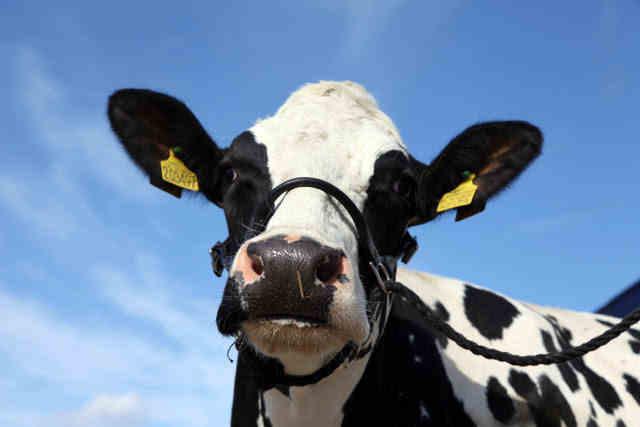 Wilma-cow-Mawley- Town- Farm