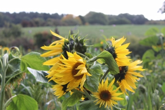 Sunflowers as part of our countryside stewardship